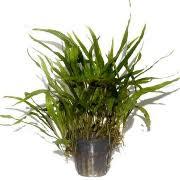 Tropical Aquatic Plants - aquarium plants buy live tropical aquatic fish tank plants online