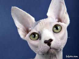 Famosos Sphynx - Raças de Gatos @GE84