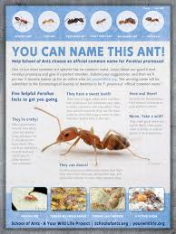 Ants In Kitchen Cabinets For Real Forelius Pruinosus Doesn U0027t Have A Common Name U2013 Your