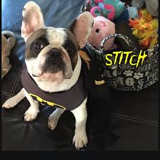 Frenchie Halloween Costume Bulldog Calm Courageous Friendly Bulldog Costume Dog