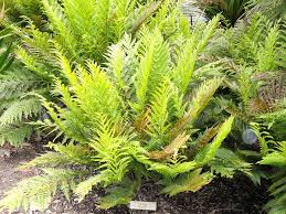 plants native to new zealand the fern genus todea is known from only two living species todea