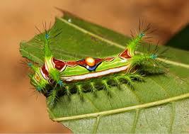 gelatin slug caterpillar otherwise known as the jellybean