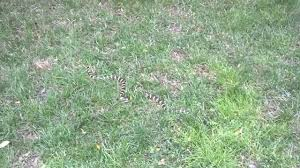snake in the backyard do you know what species youtube