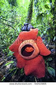 largest flower in the world rafflesia the largest flower world surat stock photo 542415805