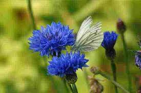 corn flower blue cornflower blue the best cut flower in the known universe