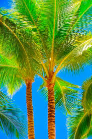 best 25 coconut palm tree ideas on tropical forest