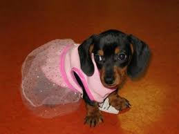 Halloween Costumes Wiener Dogs 53 Halloween Costume Ideas Images Weenie Dogs