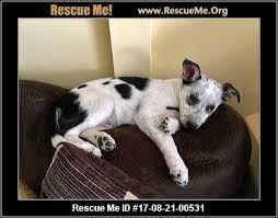 rescue an australian shepherd puppy iowa australian shepherd rescue u2015 adoptions u2015 rescueme org
