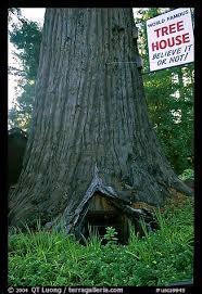 famous tree houses picture photo world famous tree house near leggett california usa