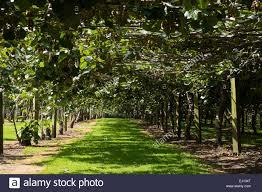 kiwi vine stock photos u0026 kiwi vine stock images alamy