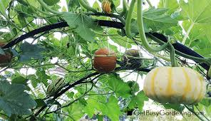 Growing Melons On A Trellis Growing Vertically
