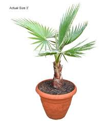 mexican fan palm growth rate buy mexican fan palm tree washingtonia robusta