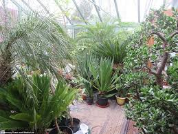 Tropical Plants For Garden - britain u0027s most tropical garden owners spend months preparing