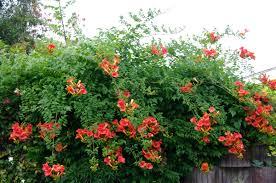 campsis radicans seeds flava red trumpet vines hummingbird