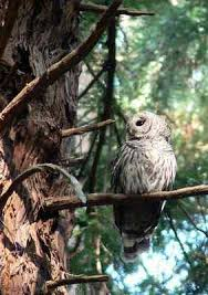 muir woods spotted owls threat from rival bird