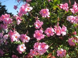 Mandevilla Plant Diseases - mandevilla among other colorful delights the smarter gardener