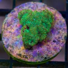 blue fish aquariums live corals for sale