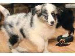 australian shepherd virginia view ad australian shepherd puppy for sale virginia richmond usa