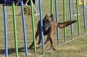 belgian shepherd health problems utterly fabulous information about the belgian shepherd dog breed