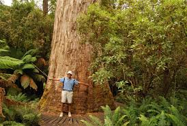 tree species which exceed the height of 80 m wondermondo