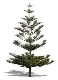 cut out norfolk island pine tree cut out plants vishopper