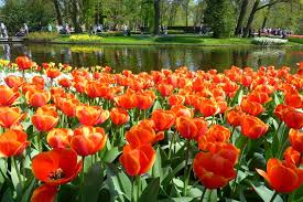 4k most beautiful tulip flowers from keukenhof holland and