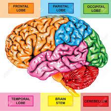 Right Side Human Anatomy Human Anatomy Diagram Science Developed Human Brain Anatomy