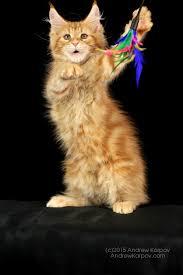 telecharger papier peint bureau gratuit maine coon chats de papier peint maine coon milieux libres