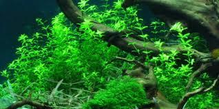 Zombie Aquarium Decorations Hemianthus Micranthemoides Tropica Aquarium Plants