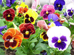 edible flower garnish easy to grow edible flowers