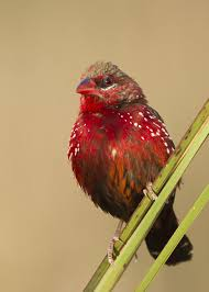 this bentley is bonkers beautiful red avadavat or strawberry finch birds u0026 butterflies pinterest
