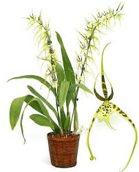 orchid plants about spider orchid plants