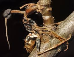 turns out the u s has its very own species of ant zombifying