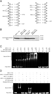 bipartite nuclear localization signal controls nuclear import and