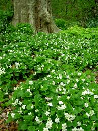 native plants of ohio native white violets carolyn u0027s shade gardens