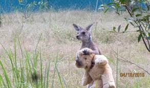doodlebug se this orphaned wallaby and his stuffie will brighten your day