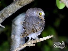 desert owl coloring page elf owl biology owling com