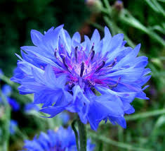 24 best flowers blue images on pinterest blue flowers