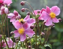 anemone hupehensis u0027praecox u0027 japanese anemone