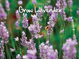 growing lavender is easier than you might think