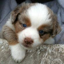 australian shepherd miniature texas miniature toy aussie australian shepherds puppies for sale