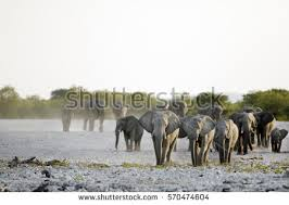 african elephants stock images royalty free images u0026 vectors