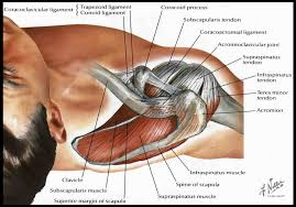 Tendons In The Shoulder Diagram Rotator Cuff Inpigiment Sports Medicine Naples Orthopedic