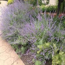 onlineplantcenter 1 gal russian sage plant r003cl the home depot
