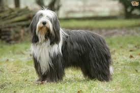 bearded collie mdr1 rough collie hereditary health and health testing pets4homes