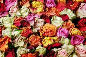 yellow roses images pixabay free pictures