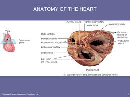 Anatomy Of Heart Valve Chapter 20 The Cardiovascular System The Heart Ppt Download