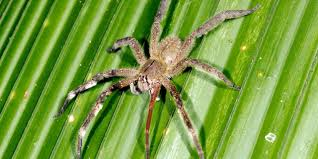 bbc earth watch spiders spring on their prey just like hunting