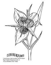 albion star u0027 tulips