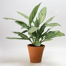 10 robust houseplants that can survive in even the darkest corner